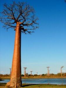 Le baobab matre au bord du lac